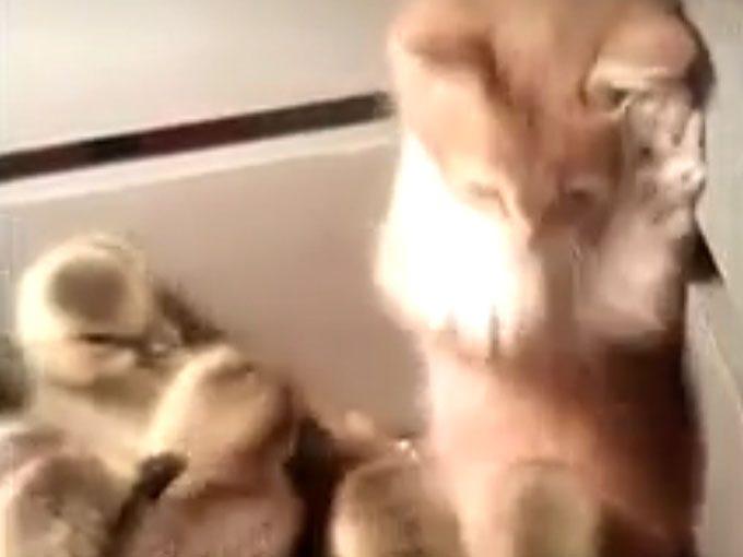 子ガモの集団に、子猫が突撃!