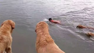 ゴールデンレトリバー12犬! 溺れる主人の救助に向かう