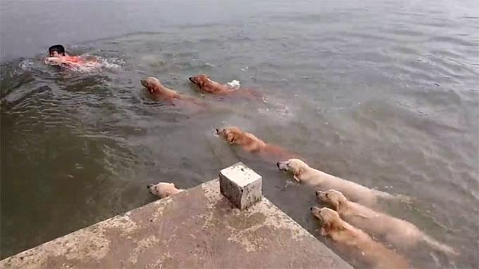 ゴールデンレトリバー12犬が救助に向かう2