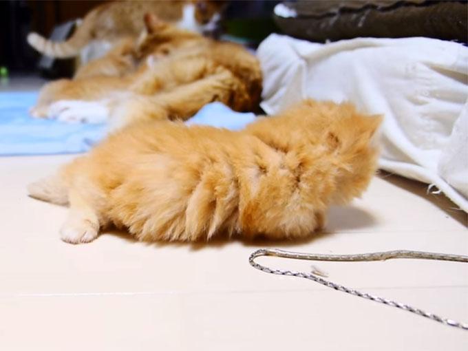 マンチカンの子猫1