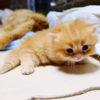 マンチカンの子猫、マットレスの隙間に突進ニャ! 「でも、入れないニャ!」