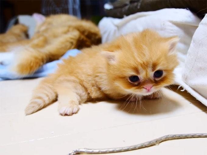 マンチカンの子猫3