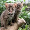 初公開! 天然記念物 ツシマヤマネコの子ども(京都市動物園)
