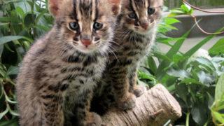 初公開! 珍しい天然記念物ツシマヤマネコの子ども(京都市動物園)