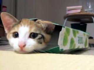 ティッシュ箱で遊ぶ可愛い子猫たち。どうしても入っちゃうニャ!