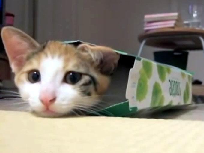 ティッシュ箱に入る子猫