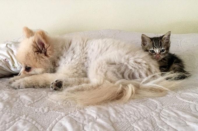 ポメラニアンに寄り添う子猫