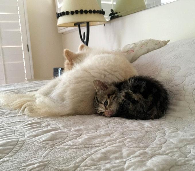 ポメラニアンに添い寝する子猫