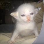 突然変異の新種猫? 耳が二股に別れている珍しい猫を発見!