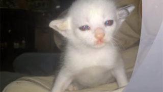 スゴイ! 突然変異の新種猫? 耳が二股に別れている珍しい猫を発見!