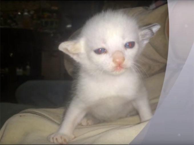 二股の耳を持つ珍しい子猫