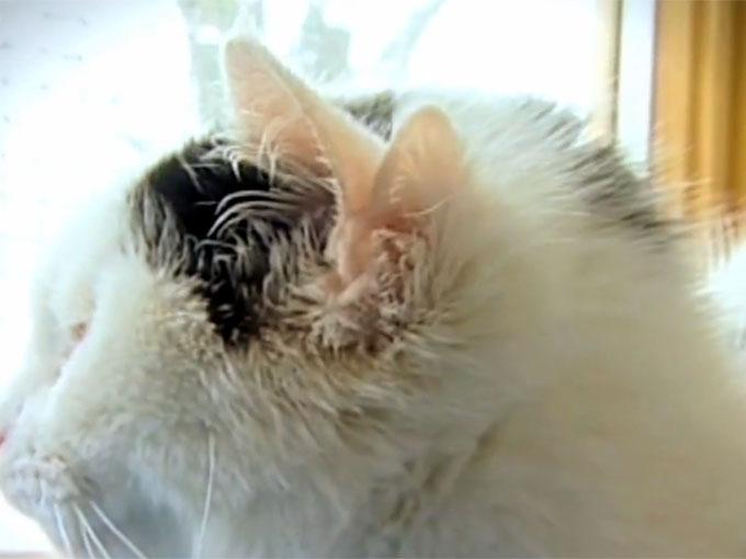 4つの耳を持つ猫