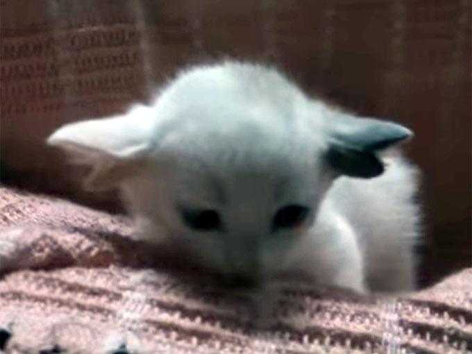 二股の耳を持つ子猫