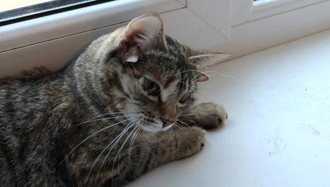 5つの耳を持つロシアの猫