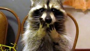何度も見たくなるアライグマの傑作動画まとめ♪ 笑える!可愛い! 癒やされる!