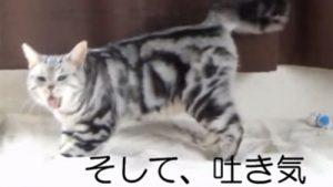 アメリカンショートヘアの猫あめちゃんのおもしろ動画、ママのオナラに「おえぇ~っ!」と、いい反応をし過ぎ♪