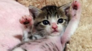 可愛い! バンザイしながら眠る子猫のおはぎちゃん♪