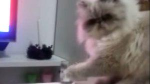 意地悪な猫、楽しむようにグラスを落とす♪