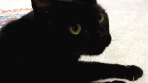 遊びは「終わり」と言うと、黒猫が猛烈に抗議します!