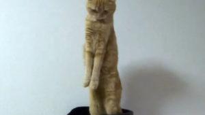 スコティッシュフォールドの茶トラ猫きなこちゃんが、立ったまま伸びをしています♪