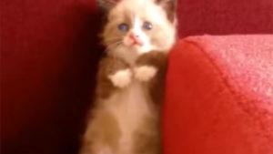怯える子猫、キュン死の立ち姿で掃除機に立ち向かう!