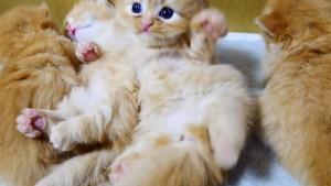 マンチカンの赤ちゃん「起き上がれないにゃ~」の姿が可愛い!