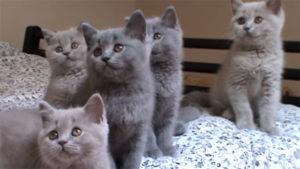 ブリティッシュショートヘアの可愛い子猫のきょうだい♪