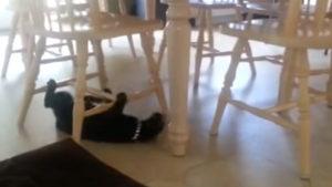 日夜特訓に励む猫! テーブルの下がトレーニング場に♪