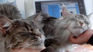 とっても甘えん坊なメインクーンの双子猫。ナデナデされて、巨大猫が子猫のように甘えています♪