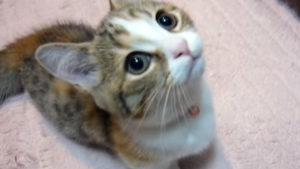 キュン死しそうな子猫の鳴き声♪ かわいい動画まとめ