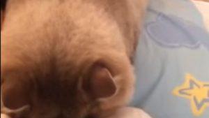 飼い主を起こしに来た猫⇒ 起きてくれない⇒ 諦めて「ごめん寝」する猫の姿が可愛い!