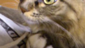 ご主人が呼ぶと、ピョン!と跳んで抱っこされるメインクーン。大型猫ほど甘えん坊です♪