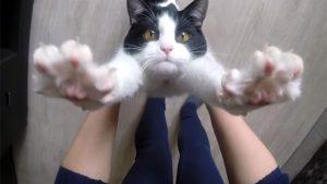 「抱っこ!」とバンザイして、おねだりする猫が可愛い過ぎ♪