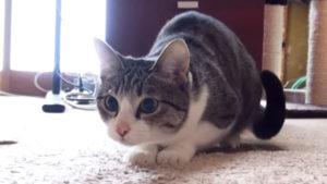 猫のお尻フリフリが可愛い動画集♪ 猫がお尻を振る理由は?