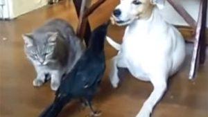 カラスが、猫と犬に餌をあげる! 「ほら、お食べ♪」